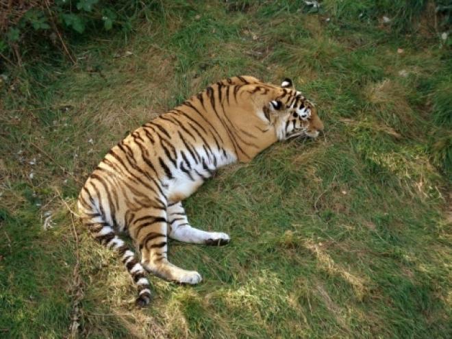 В Самарском зоопарке презентовали новый вольер для амурской парочки тигров