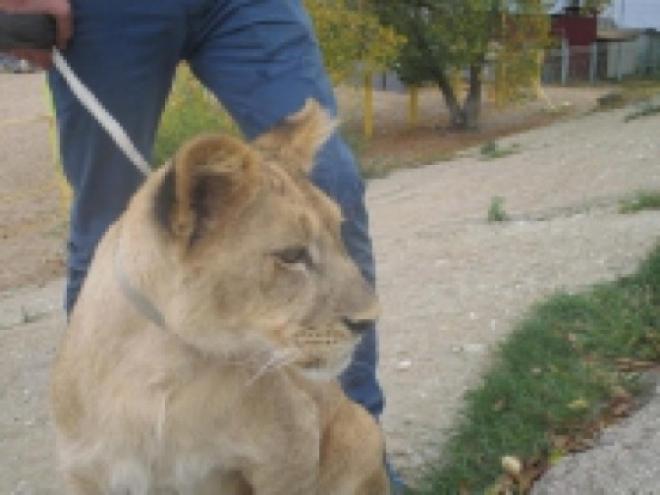 СМИ: в центре Энгельса 15-летнего подростка покусал лев